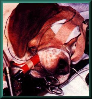beagletiervers.jpg