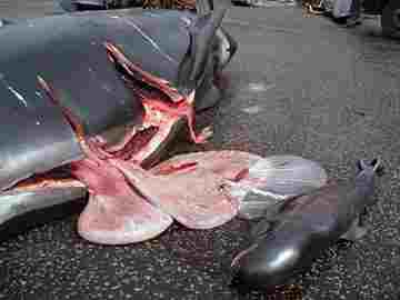 news10072015faeroesmassslaughter1558.jpg